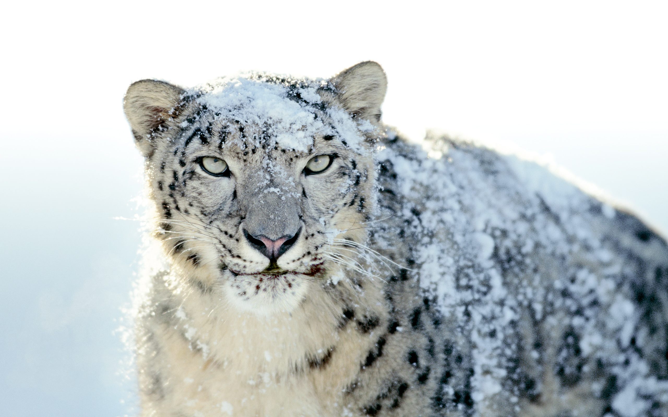 how to turn a lion into a (snow) leopard |